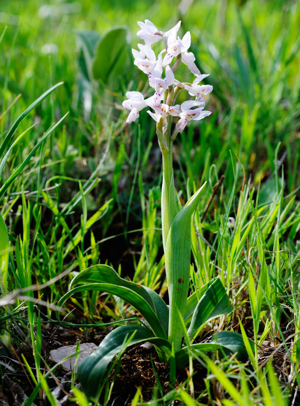orchis_olbiensis_2