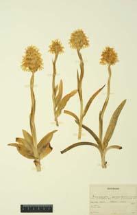 Anacamptis pyramidalis, Herbarium Renz