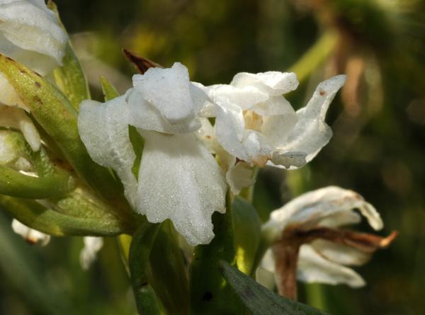 Dactylorhiza cordigera