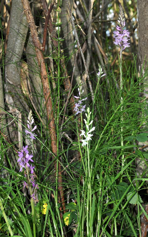 Dactylorhiza saccifera