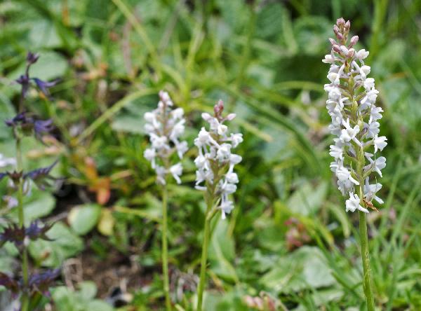Gymnadenia odoratissima