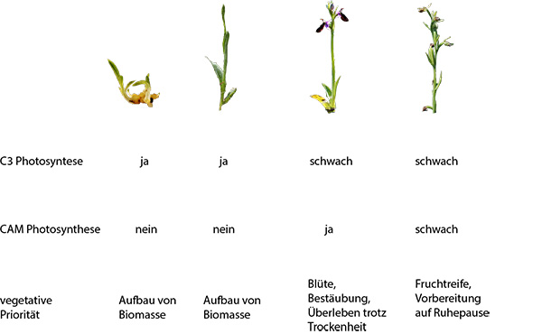 ophrys_phasen