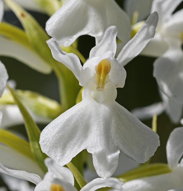 Dactylorhiza fuchsii f. albiflora