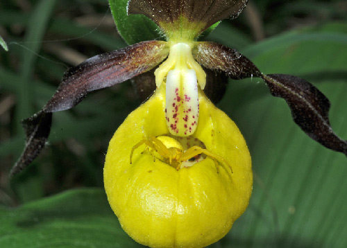 Cypripedium calceolus with Misumena vatia