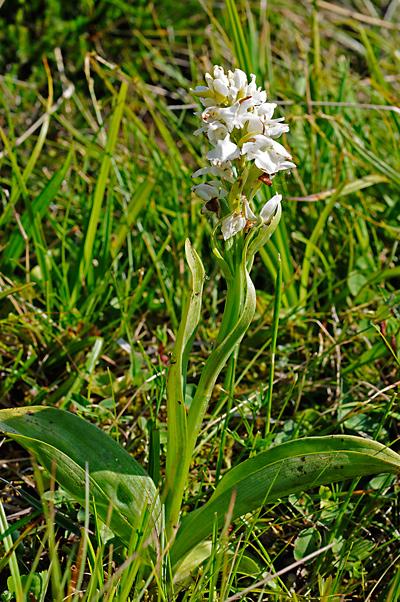 Dactylorhiza saccifera f. albiflora