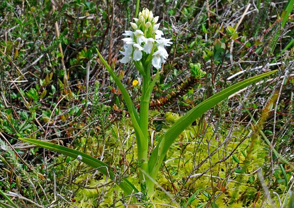 Dactylorhiza majalis subsp. calcifugiens
