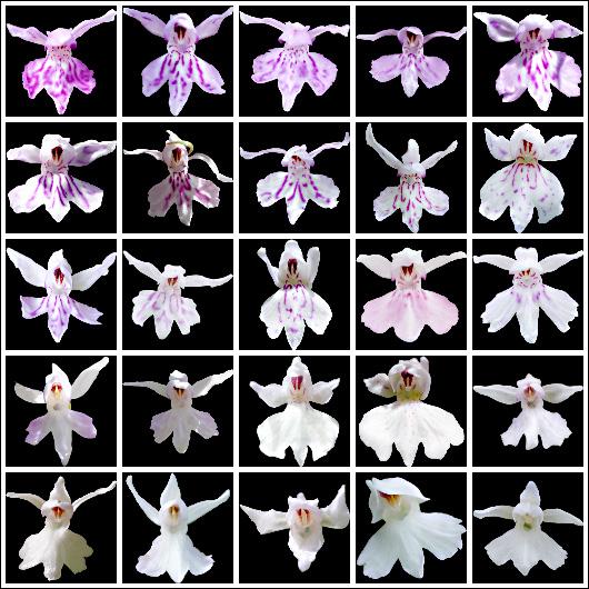 Farbvarietäten von Dactylorhiza fuchsii
