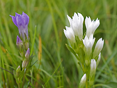 Gentiana germanica f. albiflora