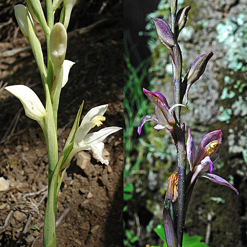Limodorum abortivum: Albiflora form (left; Photo: N.Griebl) and common form (right)