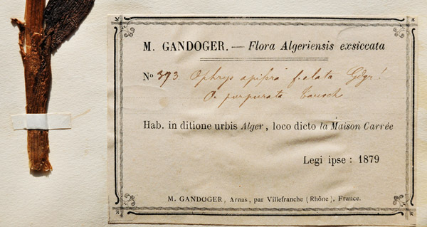 Gandoger specimen